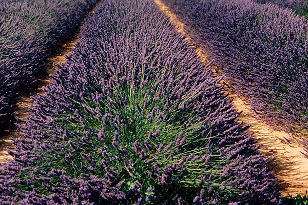 Castle XVII Century in Provence Lavender